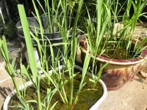 rice plants LDSCN2516