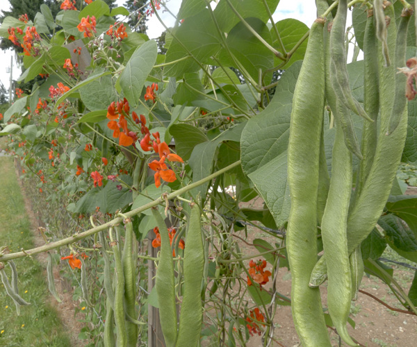 garden with scarlet runner beans