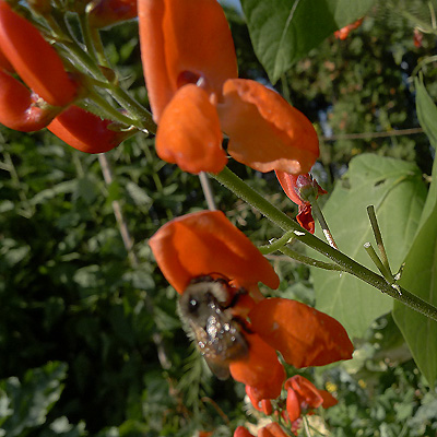 bee on scarlet runner bean flower