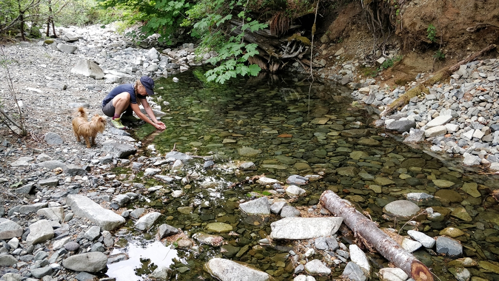 baby salmon fry smolt rescue in stream on Vancouver Island